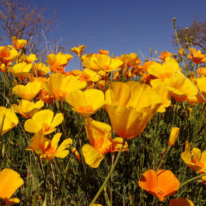 An explosion of california golden poppies the heinrich team golden poppys in carmel valley carmel valley has enjoyed a spectacular season of california golden poppies mightylinksfo