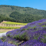 Lavender up to vineyard